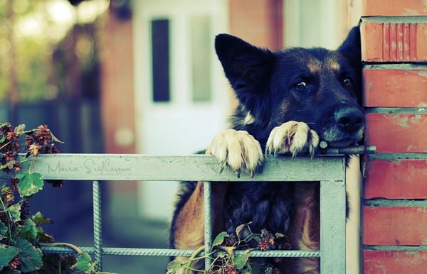 Снимаем портретное фото животных - собаки 5 (600x386, 65Kb)