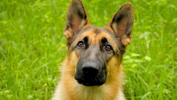 Снимаем портретное фото животных - собаки 11 (600x338, 66Kb)