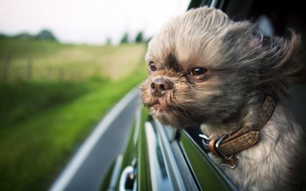 Снимаем портретное фото животных - собаки 13 (600x375, 45Kb)