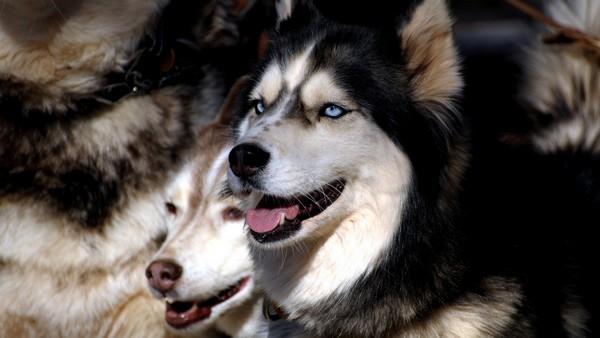 Снимаем портретное фото животных - собаки 44 (600x338, 47Kb)