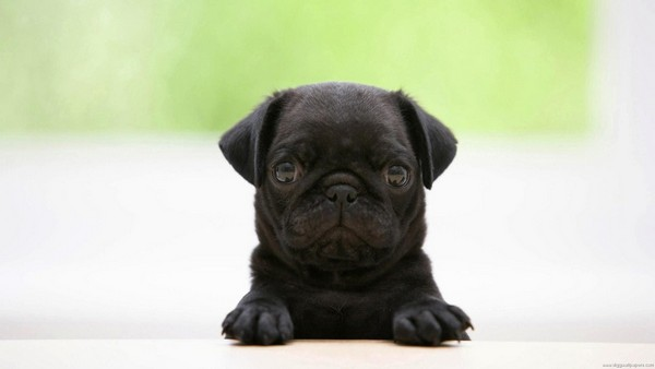 Снимаем портретное фото животных - собаки 48 (600x338, 23Kb)