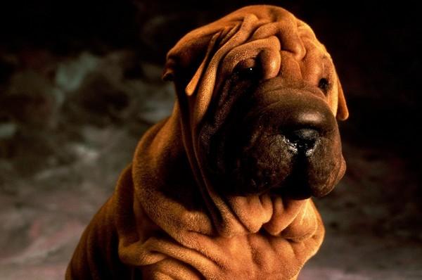 Снимаем портретное фото животных - собаки 57 (600x398, 49Kb)