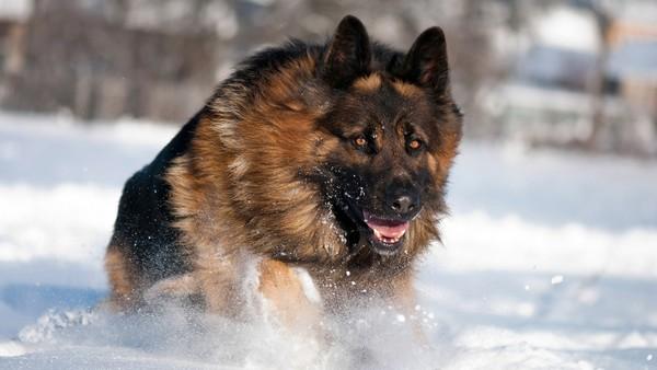 Снимаем портретное фото животных - собаки 72 (600x338, 47Kb)