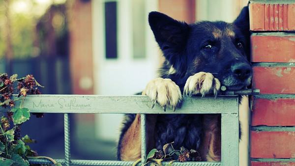 Снимаем портретное фото животных - собаки 76 (600x338, 72Kb)