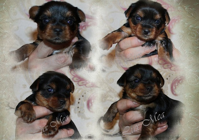 3979564_puppy_yorkshireterrier_for_sale (700x491, 102Kb)