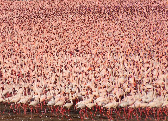 mnozhestvo rozovih flamingo (700x501, 302Kb)