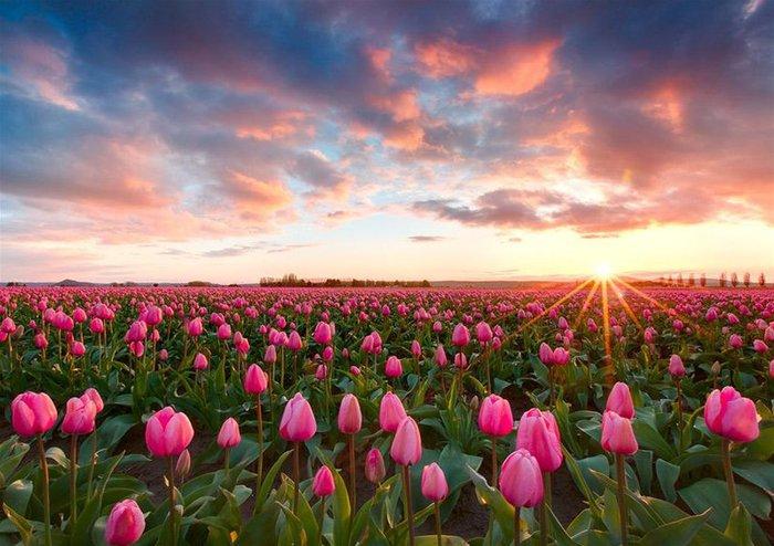 поле тюльпанов!!! (700x494, 80Kb)