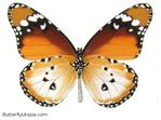 Превью 044-african-monarch (528x393, 65Kb)