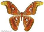 Превью 138-atlas_moth (531x386, 29Kb)