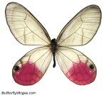 Превью glasswing-clearwing-butterfly (465x418, 40Kb)