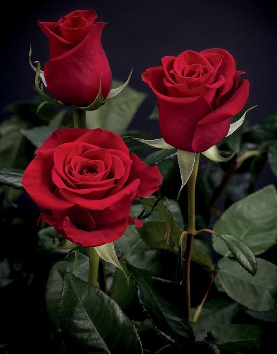 розы красн.три (248x350, 75Kb)