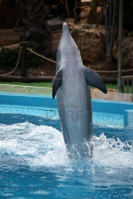 6295106-view-of-a-dolphin-on-a-waterpark-dancing-with-the-tail-on-the-water (467x700, 320Kb)