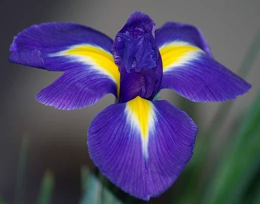 цветок касатик фото