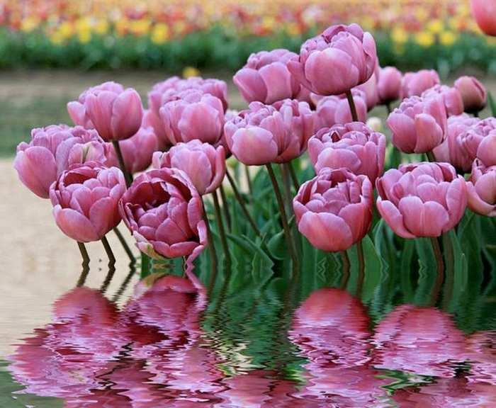 Tulips 2 (700x576, 53Kb)
