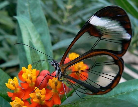 стеклянная бабочка1 (570x440, 101Kb)