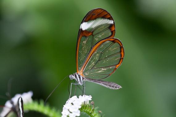 стеклянная бабочка6 (570x380, 53Kb)