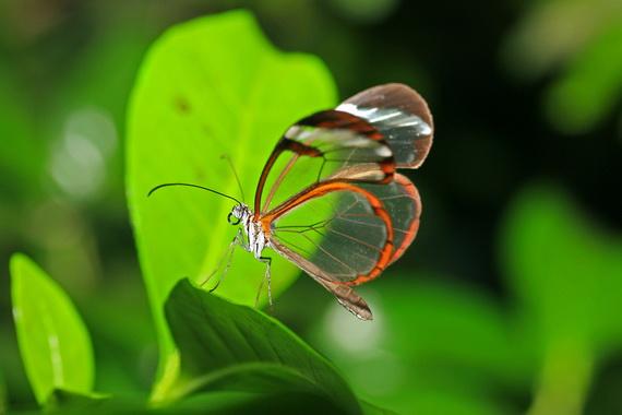 стеклянная бабочка8 (570x380, 56Kb)