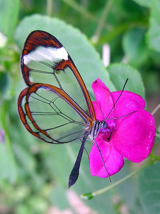 стеклянная бабочка10 (525x700, 92Kb)