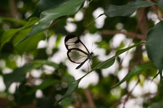 стеклянная бабочка12 (570x380, 67Kb)