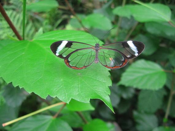стеклянная бабочка14 (570x428, 91Kb)