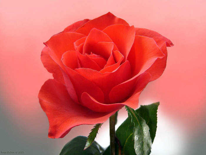 24784735_1210581250_rrr_rose (700x525, 63Kb)