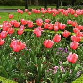 Тюльпаны 2 (170x170, 51Kb)
