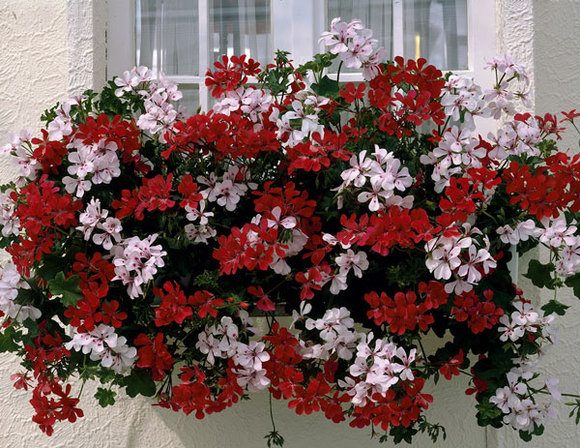цветы на лоджии.jpg4 (580x448, 123Kb)