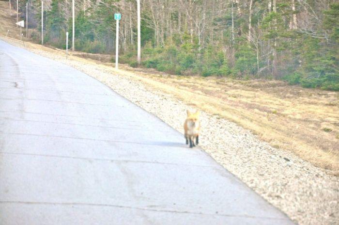 fox_01 (700x464, 51Kb)
