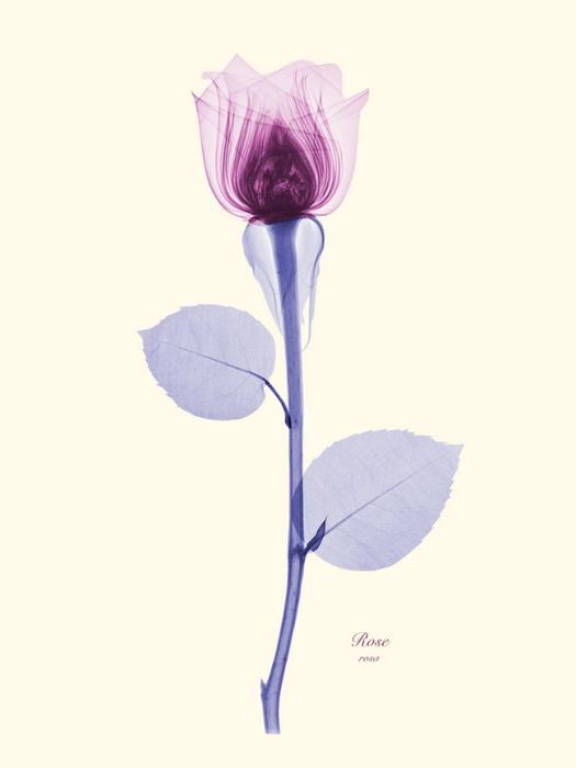 Рентгеновские снимки цветов от Brendan Fitzpatrick 2 (525x700, 88Kb)
