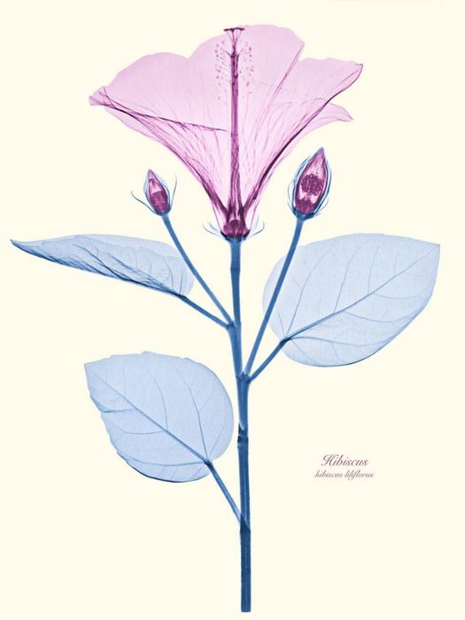Рентгеновские снимки цветов от Brendan Fitzpatrick 6 (525x700, 172Kb)