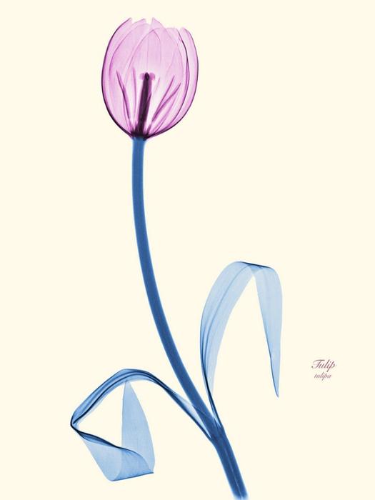 Рентгеновские снимки цветов от Brendan Fitzpatrick 7 (525x700, 111Kb)