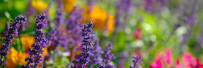 oil-lavender (700x235, 25Kb)
