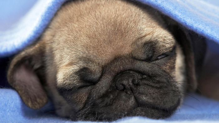 pug-dog-wallpaper-1366x768 (700x393, 95Kb)