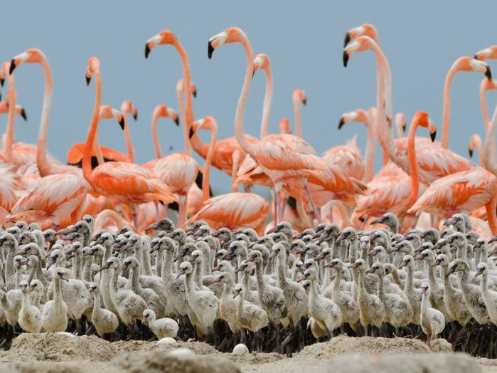 flamingo-chicks-nigge_49754_990x742 (700x524, 71Kb)