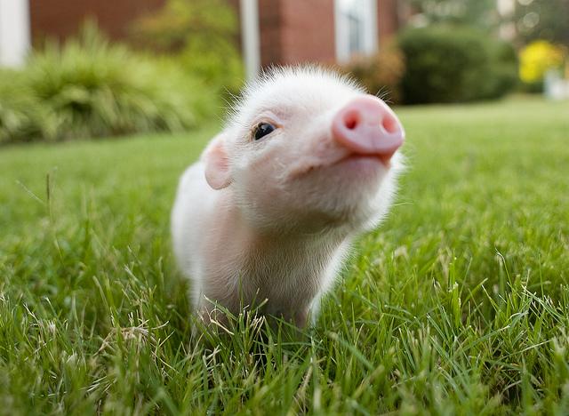 Свинка скачать торрент