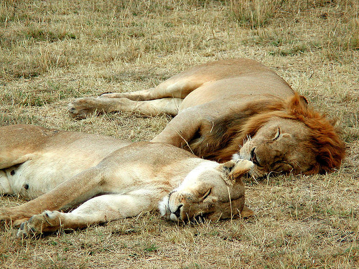 800px-Lion_and_lioness_sleeping (700x525, 175Kb)