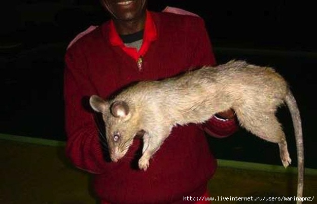 1333218828_gambian_pouched_rats1 (625x403, 106Kb)