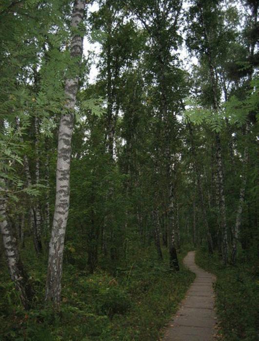 AkademgorodokBirch-wood (531x700, 461Kb)
