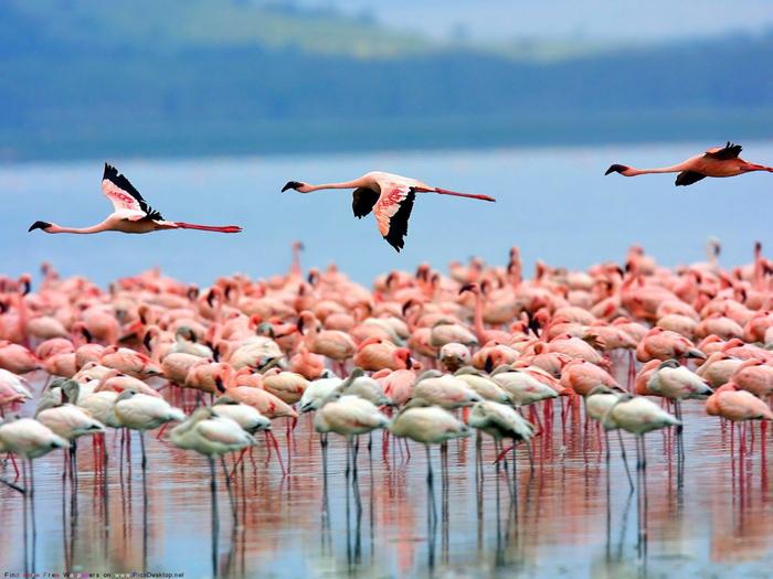 розовый фламинго фото