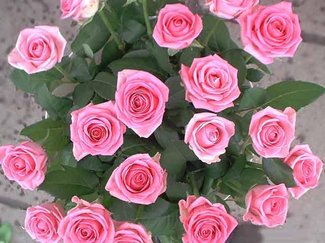 розы (640x480, 30Kb)