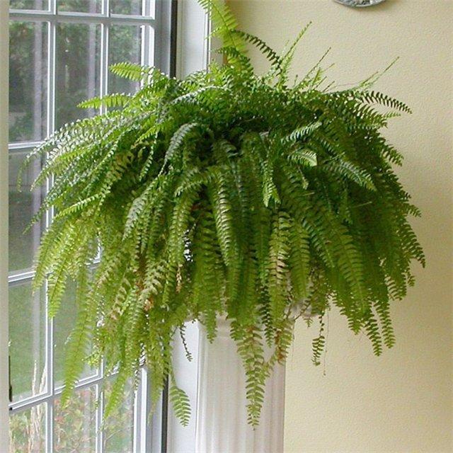 Папоротник относится к семейству многоножковых и на данный момент насчитывается более 10 тысяч видов этого растения.