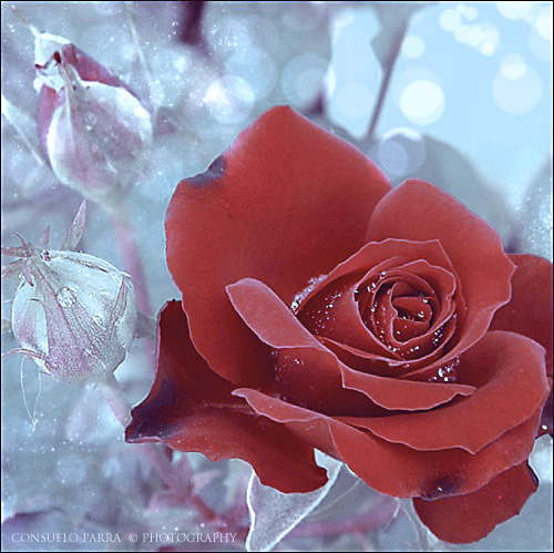 rose1 (500x499, 154Kb)