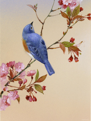 blue-bird-on-cherry-blossom-branch (1) (366x488, 53Kb)