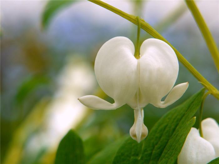 Цветок разбитое сердце приметы и суеверия
