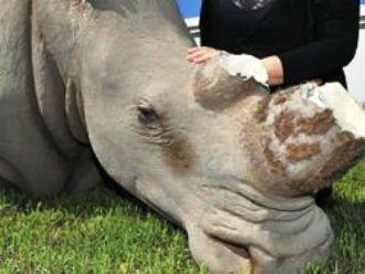 Чучело носорога (330x248, 16Kb)