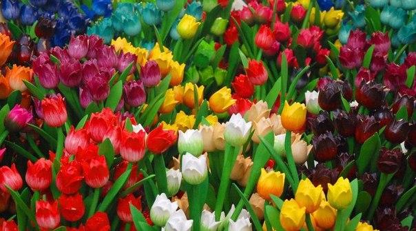 тюльпаны.jpg3 (604x335, 67Kb)
