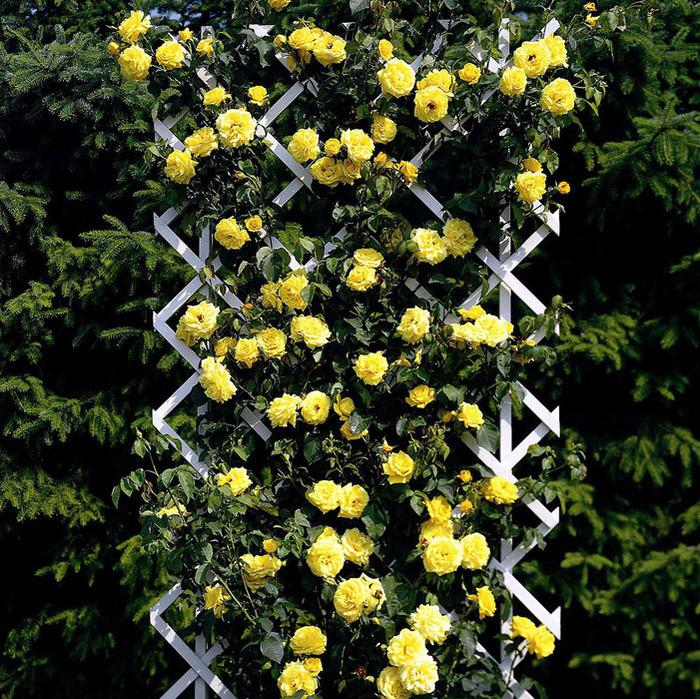 роза на перголе (700x699, 291Kb)