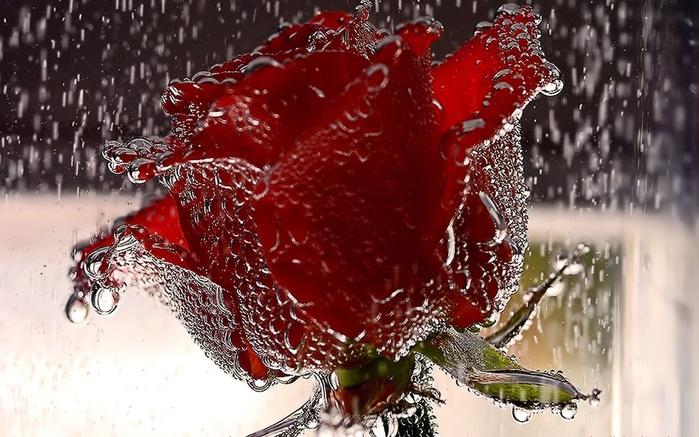 Beautiful red roses wallpapers for desktop