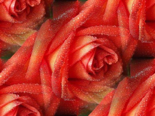 Rose _57_ (522x392, 43Kb)
