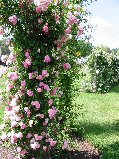 Малиновая плетистая роза 3